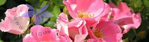 گروه بویایی مدیترانهای گلدار (Chypre Floral)
