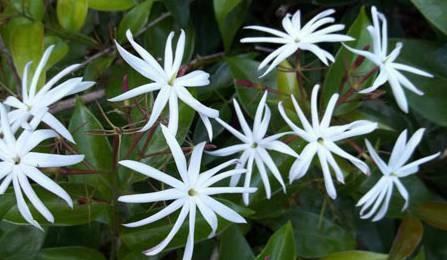 گل یاسمن ستاره ای