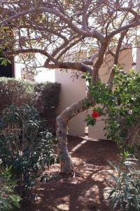 درخت کندر نقره ای در محوطه شرکت آمواج